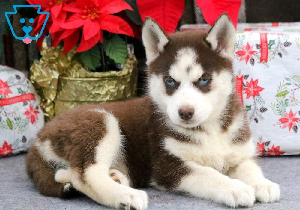 Moonlight Husky Puppies For Sale Siberian Husky Puppies Husky
