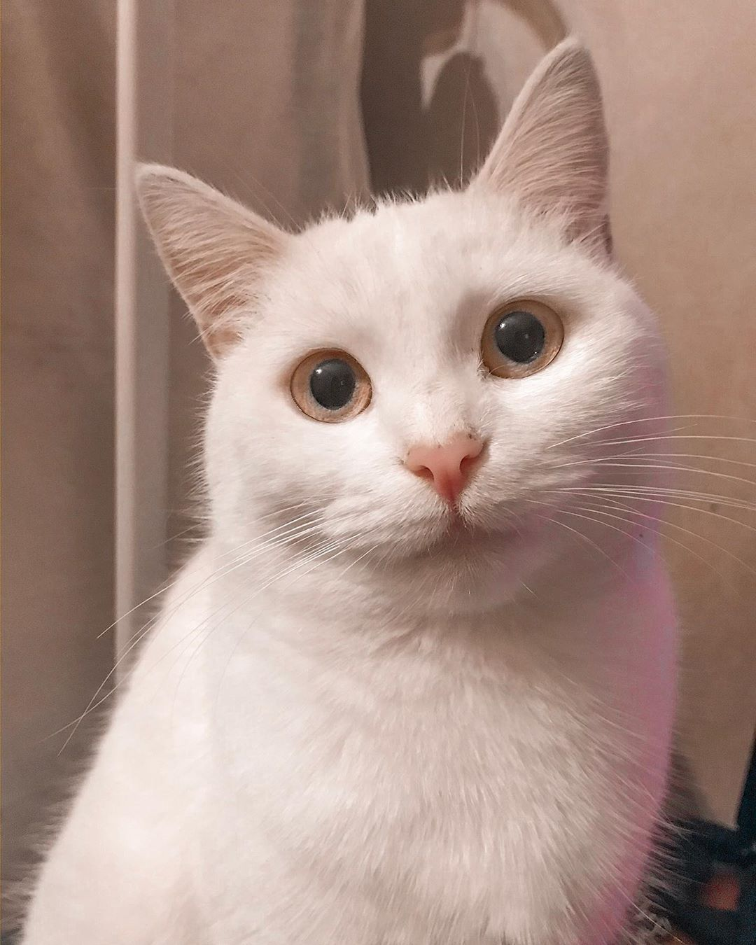 Chapichapochatpapo Encore Un Nouveau Chat Blanc En 2020 Chats Blancs Nouveau Livre Chat