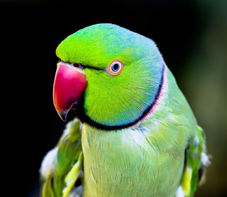 Green Indian Ringneck Parakeet Parakeet, Beautiful birds
