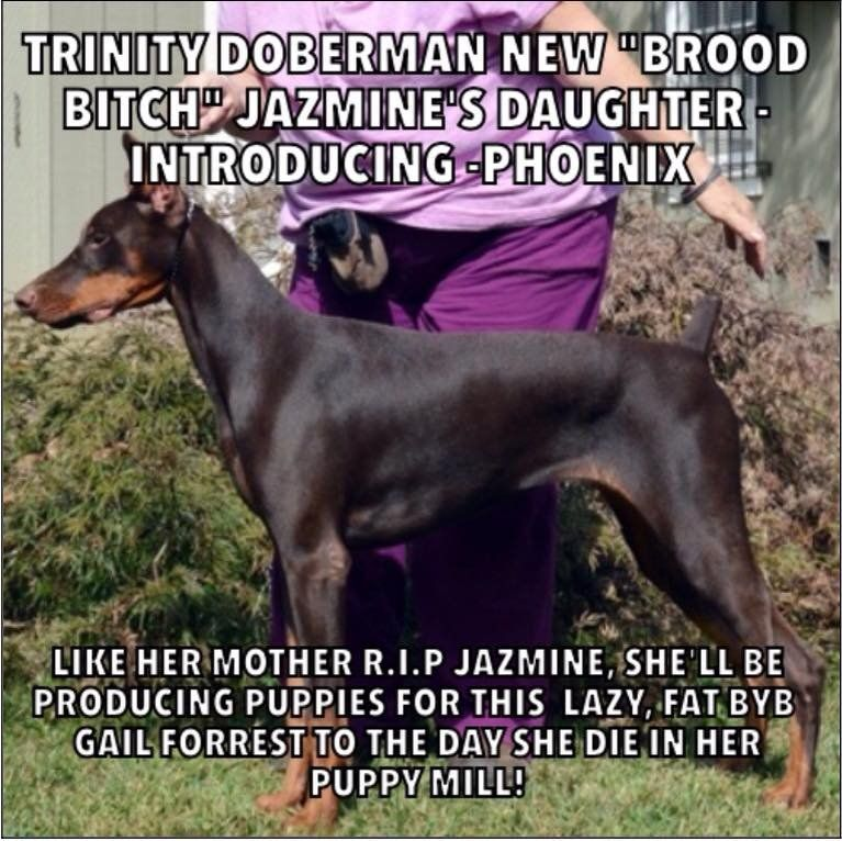 Breeder Review Breederreview Twitter Doberman Puppy