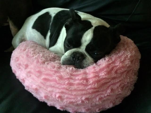 Adopt Brewster On Boston Terrier Dog Terrier Dogs Boston Terrier