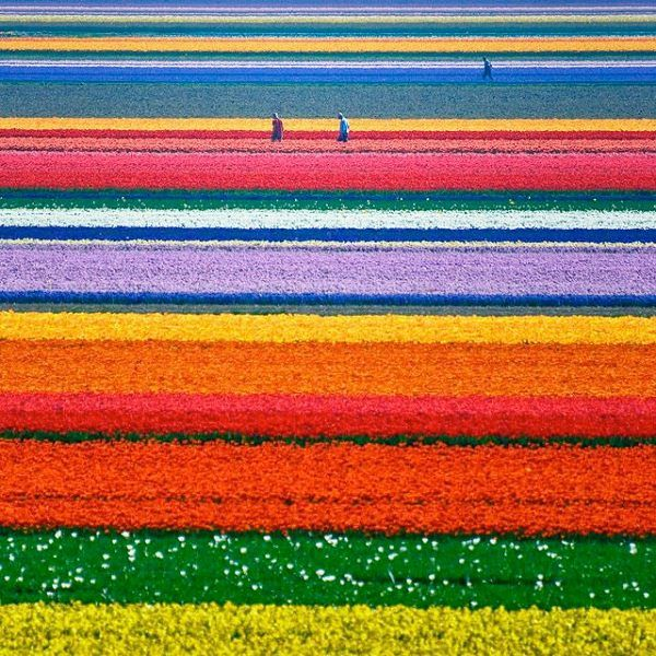 Netherlands: More than seven million flowers form a glorious decor in Keukenhof, a historic park filled with blooming tulips, hyacinths, daffodils and other spring bulbs.