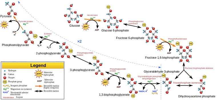 Glycolysis Flow Chart Ceriunicaasl
