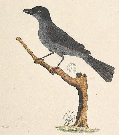 Tasman Starling (Aplonis fusca)