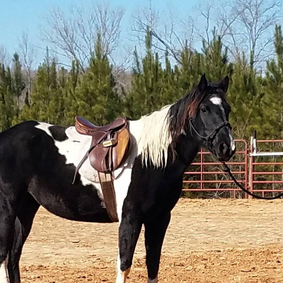 Adopt Raven on Horses, Horse adoption, Painted pony