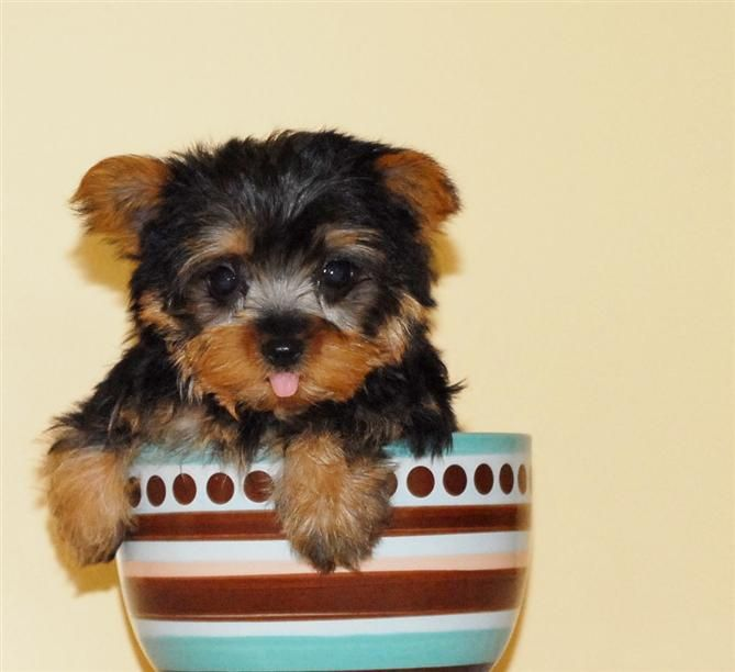Teacup Yorkie Yorkie Puppies For Adoption Yorkie Puppy Yorkie