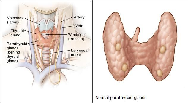 This is a true image of the superior parathyroid glands based on ...