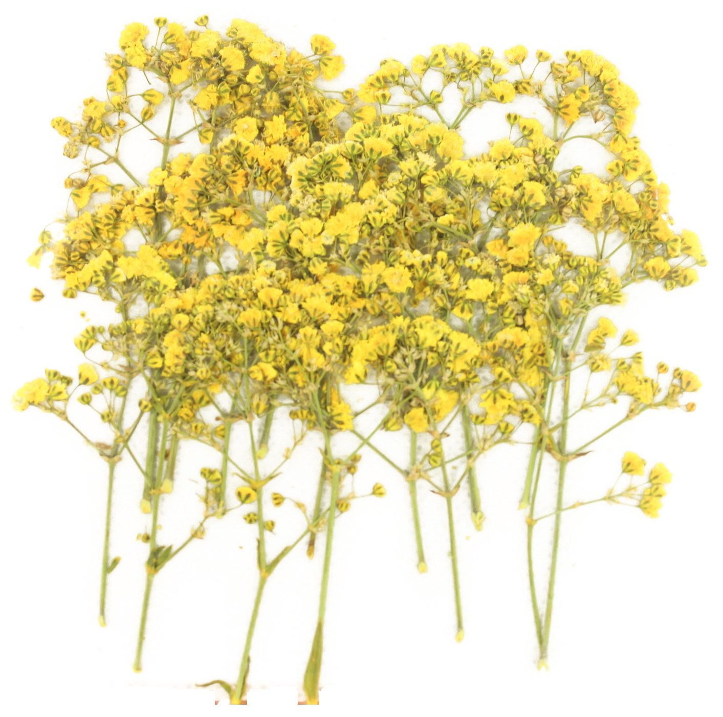 Pressed Flowers Yellow Baby Breath Gypsophila 20pcs For Floral Art Craft Card Making Scrapbooking Pressed Flowers Baby Yellow Babys Breath