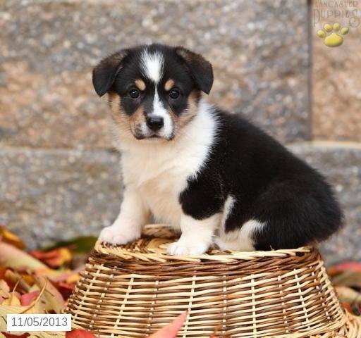 Welsh Corgi Pembroke Puppies For Sale Corgi Welsh Corgi Puppies Pembroke Welsh Corgi