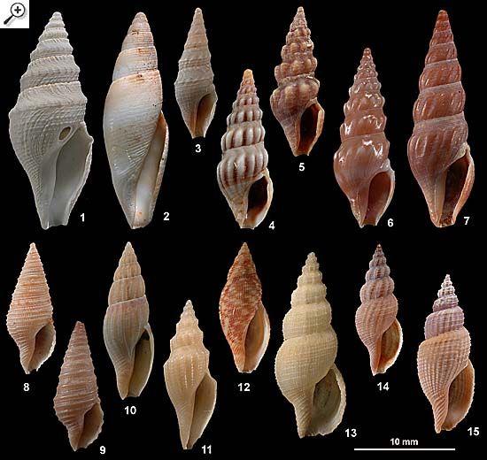 Family Turridae Large species, plate 2 of 2 1. Bathytoma agnata 2. Benthofascis biconica 3. Paracuneus immaculatus 4. Austrodrillia angasi 5. Austrodrillia beraudiana 6. Splendrillia woodsi 7. Splendrillia spadicina 8. Tomopleura subtilinea 9. Pulsarella cognata 10. Mitraguraleus mitralis 11. Euguraleus tasmanicus 12. Daphnella botanica 13. Asperdaphne versivestita 14. Asperdaphne brenchleyi 15. Asperdaphne hayesiana