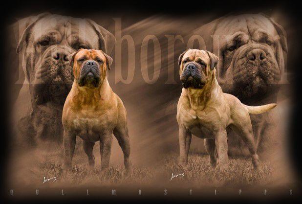 Bullmastiff Mastiff Breeds Guard Dog Breeds Bull Mastiff
