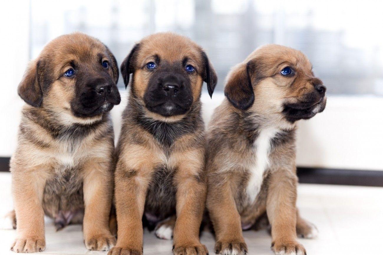 German Shepherd Mastiff Mix Puppies With Blue Eyes Doge Dieren