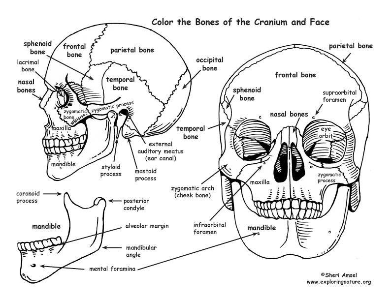 Cranium anatomy face skull head | Art Studies References | Pinterest ...