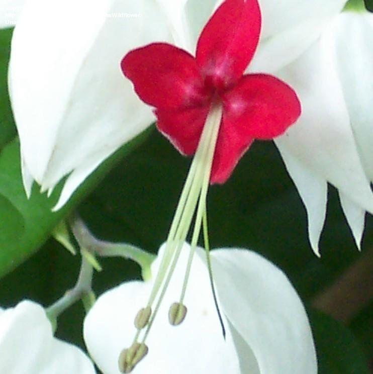Plantfiles Pictures Clerodendrum Species Bleeding Heart Vine Glory Bower Tropical Bleeding Heart Clerodendrum Tho Bleeding Heart Bleeding Heart Vine Vines