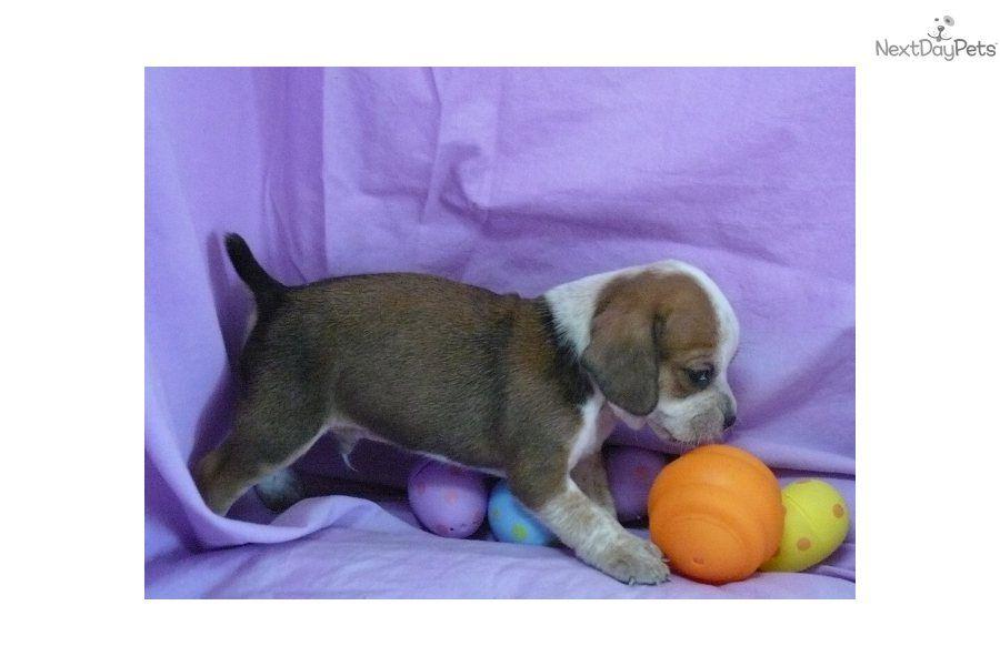 Beabull Puppy For Sale Beabull 1 2 Bulldog 1 2 Beagle