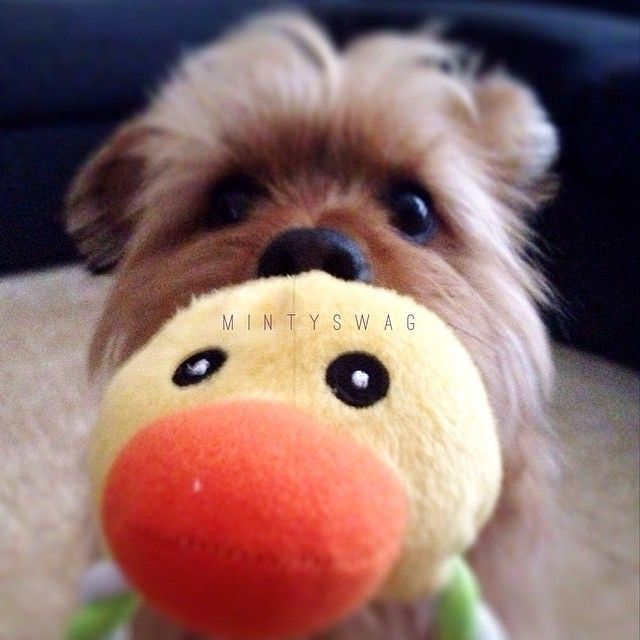 Rubber Ducky your the one! Dexter with his Ducky! RIP ducky :( #adventurewithbabydexter @bunbunnysmile