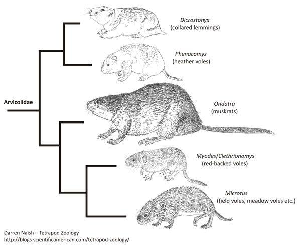 arvicolid-cladogram-600-px-tiny-Jan-2014-Darren-Naish
