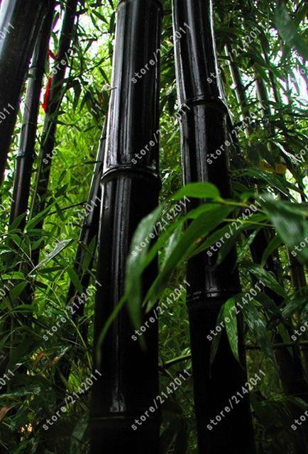 20pcs Bag Giant Bamboo Seeds Moso Rare Bambusa Herb Planter Bambu Tree Various Kinds For Home Garden Plant