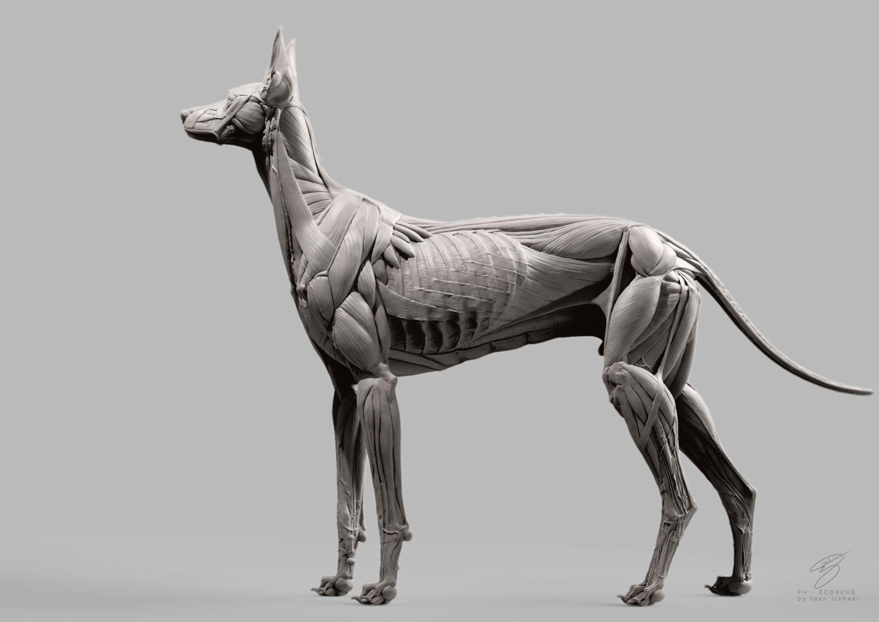 Sketchbook - Anatomy and Stuff | Dog Anatomy | Pinterest | Anatomy ...