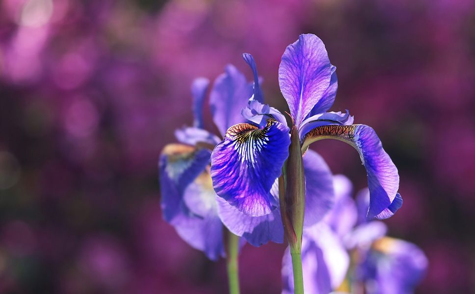 37 Common Plants That Are Poisonous To Dogs In 2020 Iris Flowers Flowers For Sale Iris