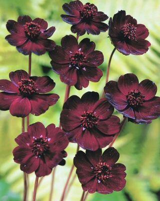 Cosmos Atrosanguineus Chocolate Cosmos Bulb Flowers Summer Flowering Bulbs Crocus Bulbs
