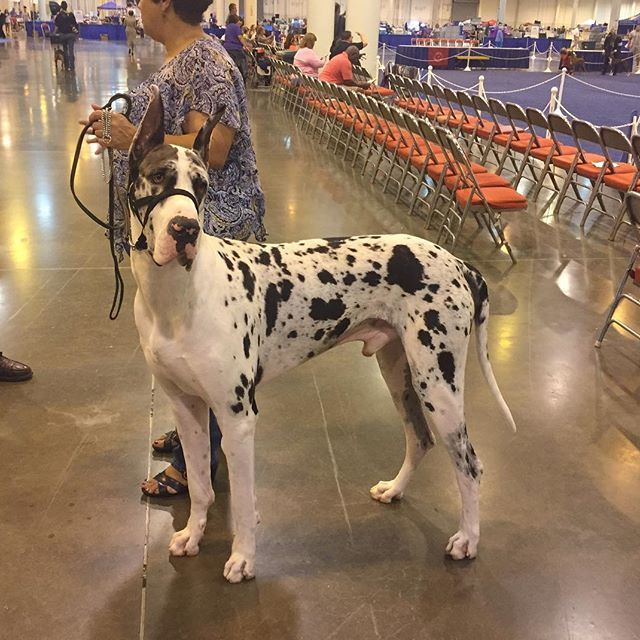 Great Dane Dog Breed Information Great Dane Dogs Dane Dog Dane