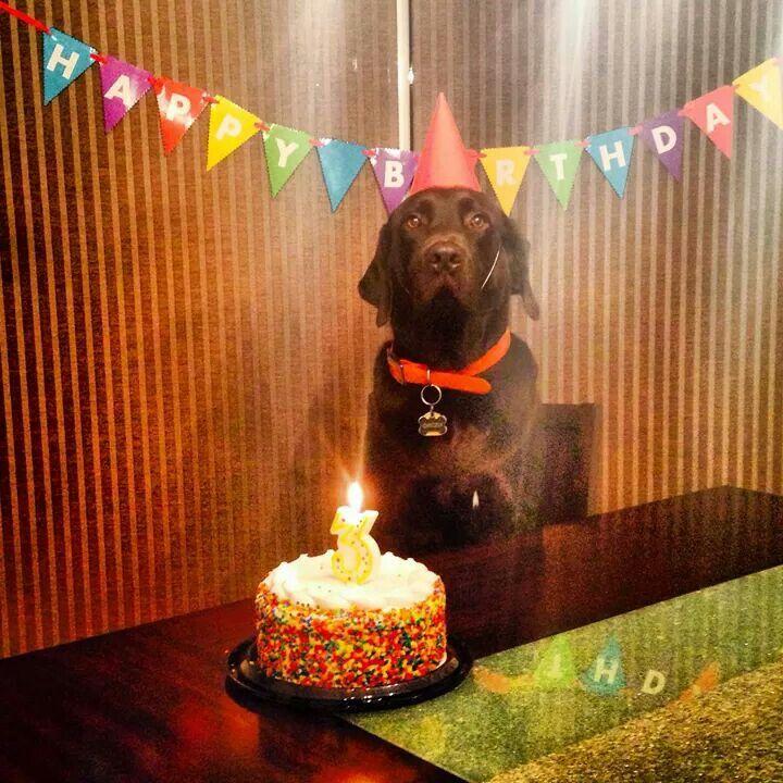 Chocolate Labrador Chocolate Lab Chocolate Labrador Birthday