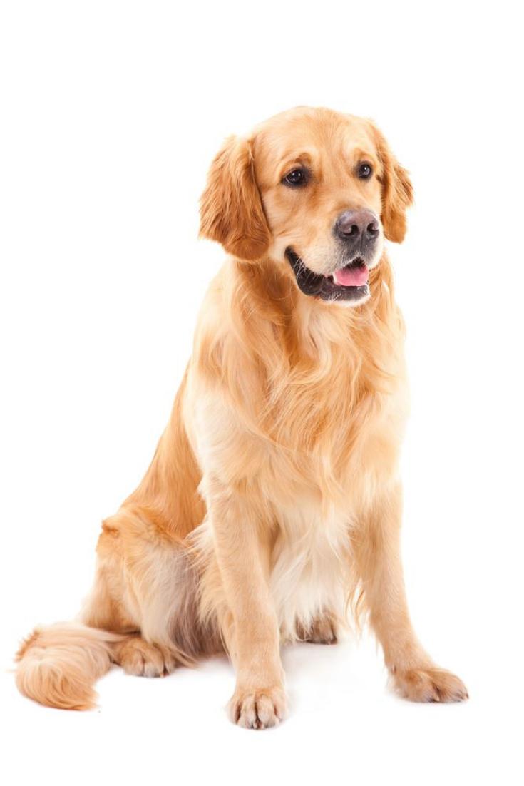 Purebred Golden Retriever Dog Sitting On Isolated White Background Goldenretriever Golden Retriever Dogs Golden Retriever Purebred Golden Retriever