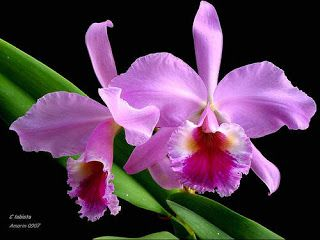 Flowers Around The World The National Flower Every Country B Orchids Flowers Orchid Purple