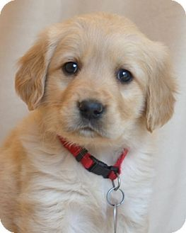 Enfield Ct Golden Retriever Meet Maggie A Puppy For Adoption W Good Dog Rescue Reply Gooddogrescue Com Cuties Golden Puppy Dogs Golden Retriever Re