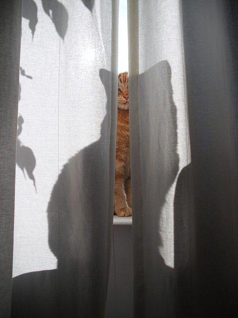 Cat peeking through the curtains.