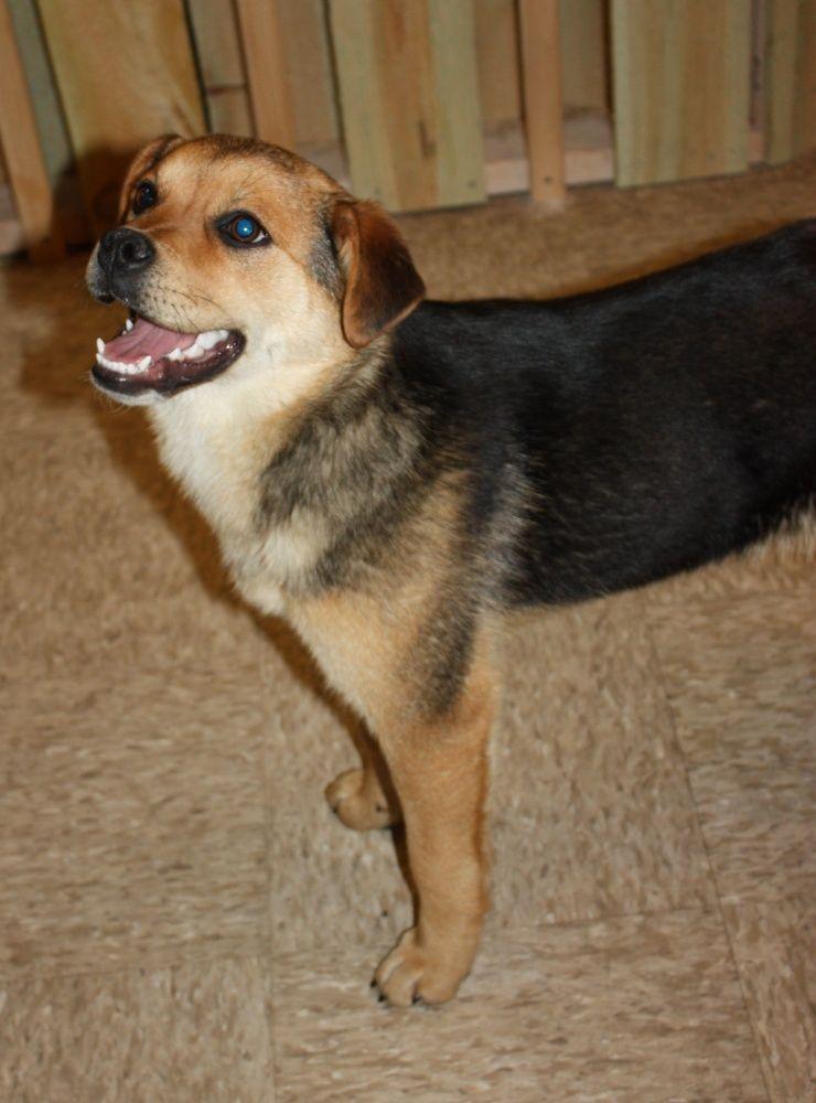 Shepard Beagle Mix Calm Dog Breeds German Shepherd Mix Puppies