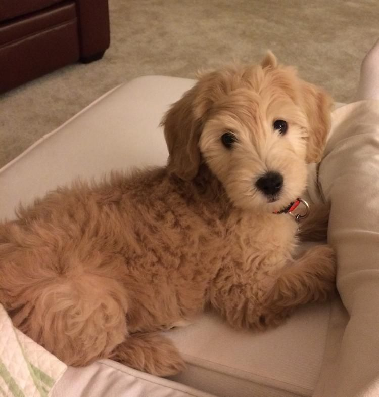 Zoey The Goldendoodle Goldendoodles Are The Best Dogs Goldendoodle Cute Animal Photos Puppies