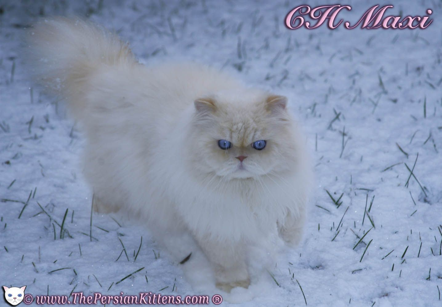 Doll Faced Persian Cat Breeders Usa