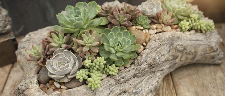 Beachy Succulent Driftwood Planter -   9 plants Succulent in driftwood ideas