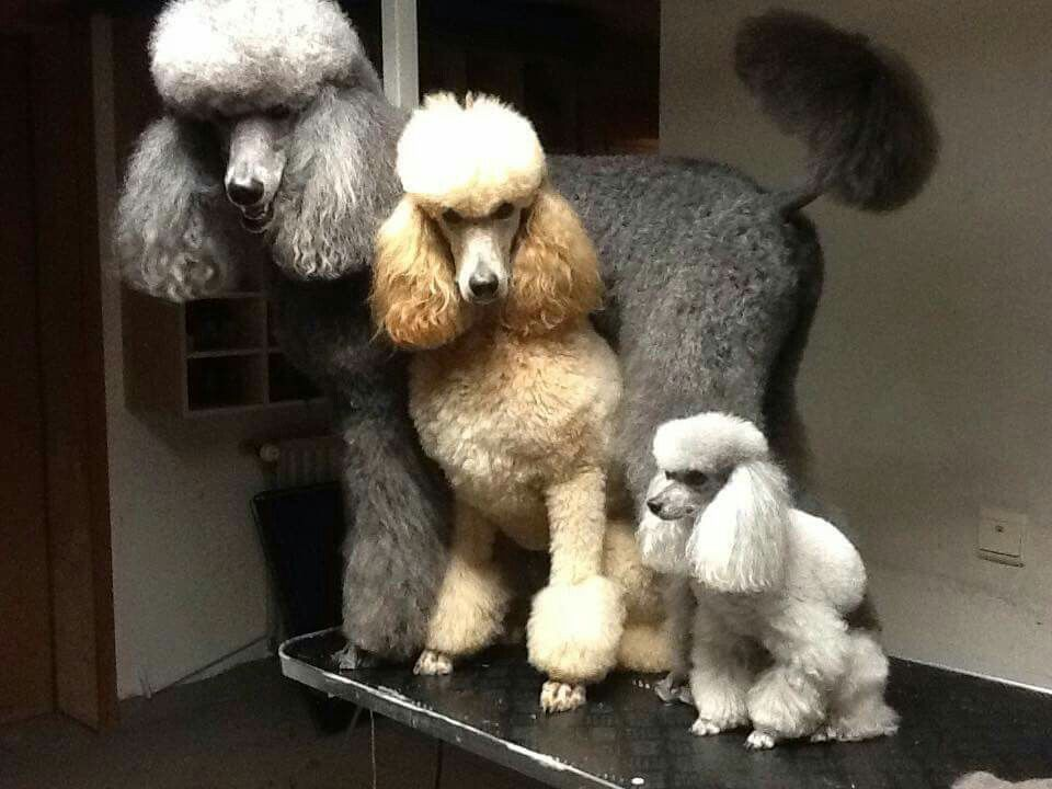 Toy Miniature Standard Poodles With Images Poodle Puppy