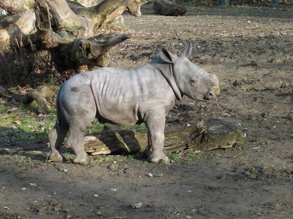 This is Zuberi at only 2 weels old!  He is the cutest rhino!  Anna's Welsh Zoo, Pembrokeshire, West Wales, SA70 8RJ