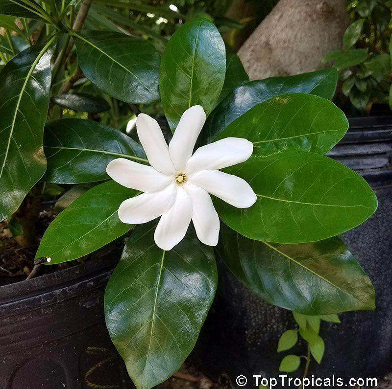 Gardenia Taitensis Tiare Tahiti Tahiti Gardenia Star Of Tahiti
