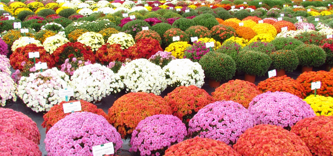 Chrysanthemum Flowering And Blooming Season Source Image Homedepot Com Chrysanthemum Plant Chrysanthemum Flower Bonsai Flower