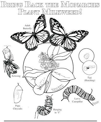 Hi Folks Welcome To Coloring And Drawing Activities Parents Always Have Tried To Do The Best Butterfly Coloring Page Monarch Butterfly Butterfly Life Cycle