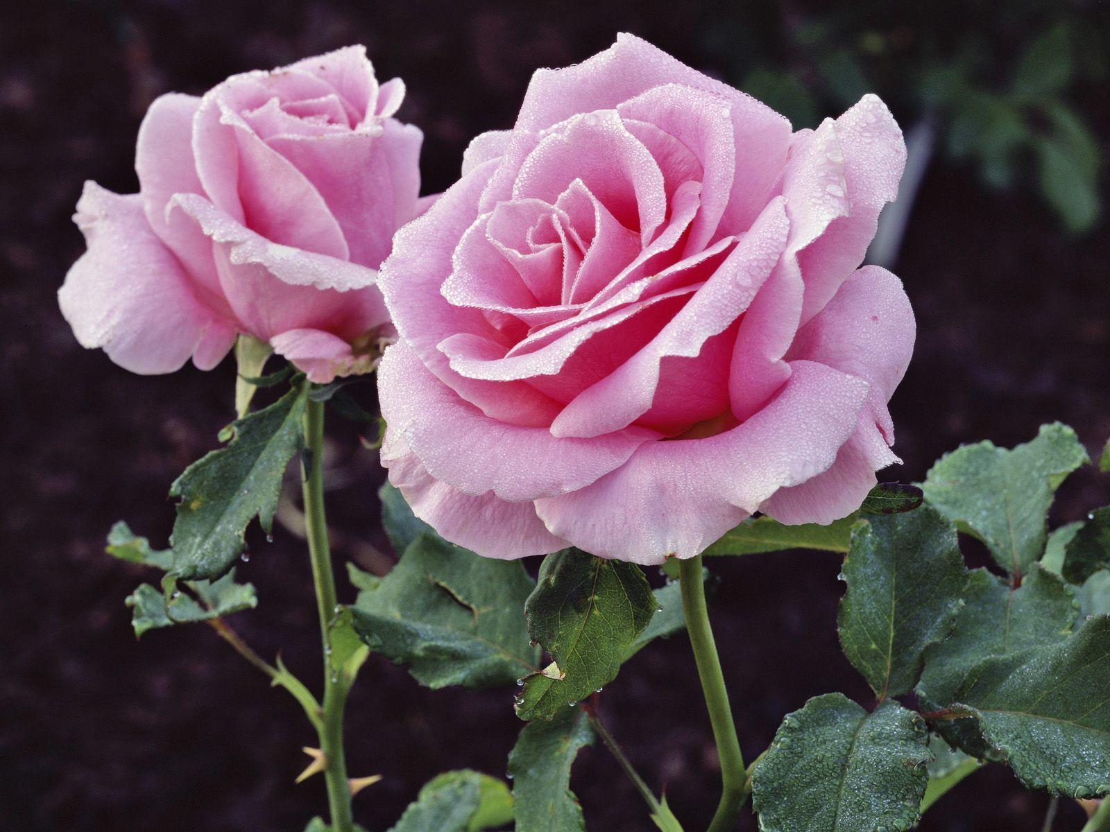 Beautiful Flowers Beautiful Flowers 307 R9q87dgihf 1600x1200g
