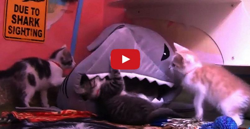 How To Survive A Shark Attack As Told By Kittens Animals Kittens Kitten Cam