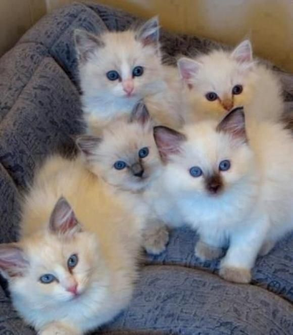 Blue eyed little kittens staring at the camera