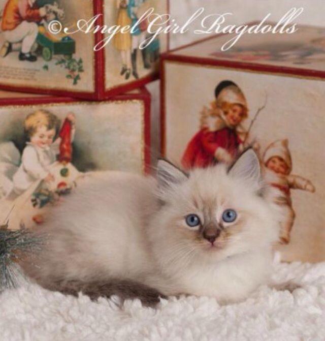 Available Ragdoll Kittens Ragdoll Cat