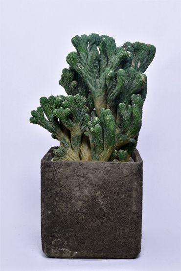 Cereus Alacriportanus F Cristata サボテン 植樹