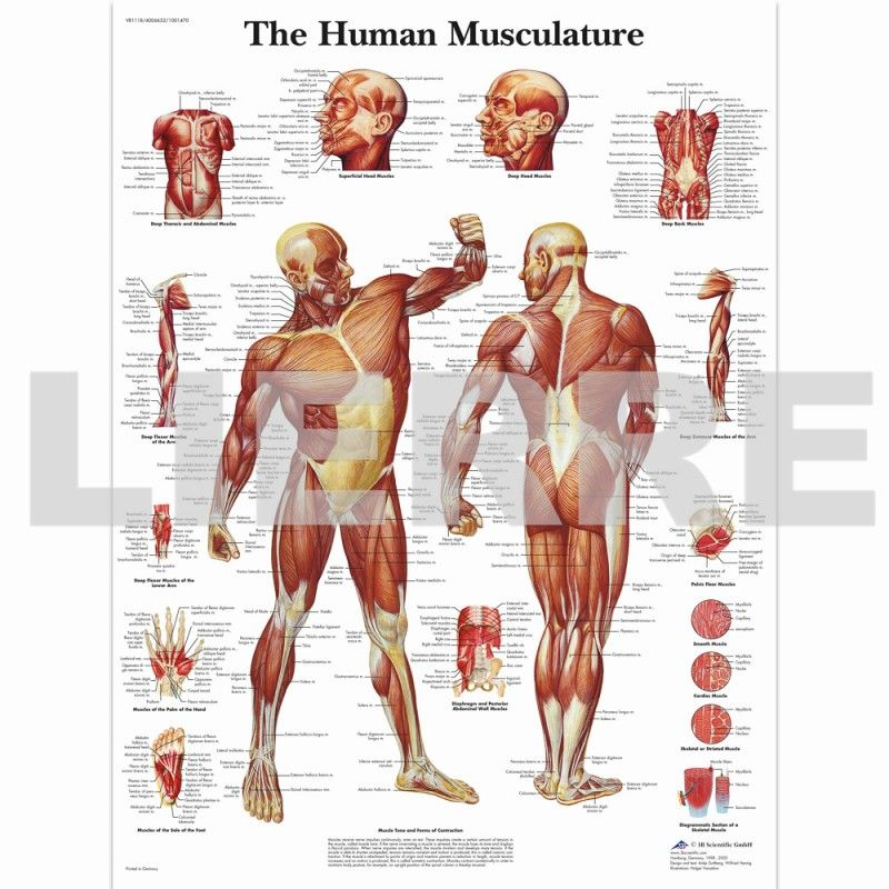 human muscle chart (english) | acupuncture and alternative, Muscles