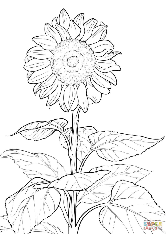 Sunflower Super Coloring Girasoles Dibujo Dibujos