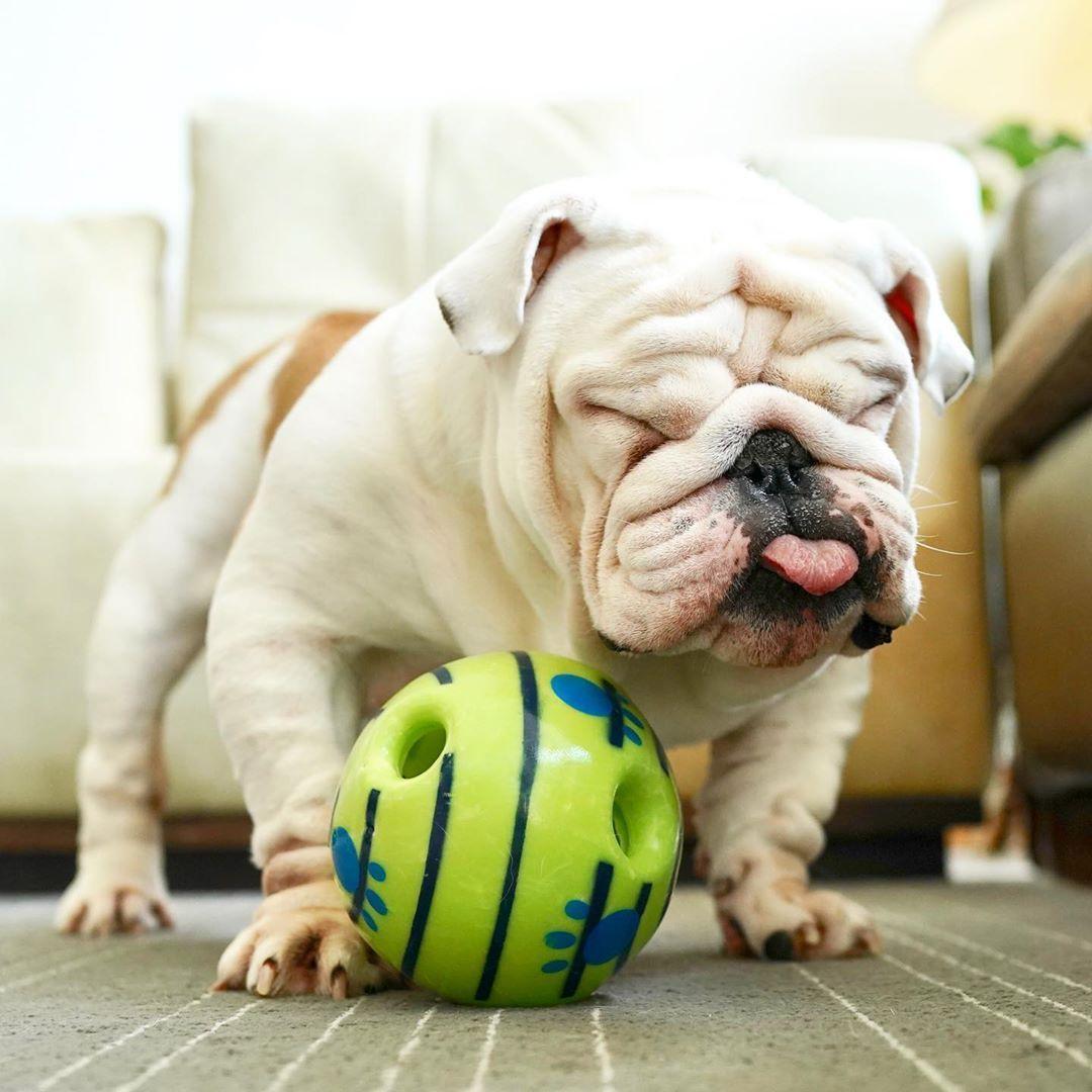 Monkoodog Smartdog Bulldogsofig Bulldogoftheday Cute Cutest