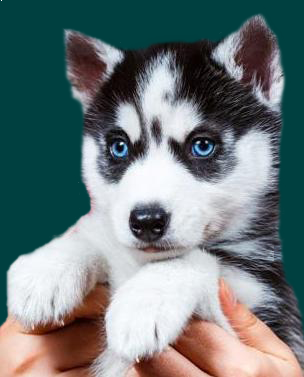 Pomsky Puppies For Sale Australia Pomsky Puppy Cute Cats And Dogs Cute Husky Husky Puppy