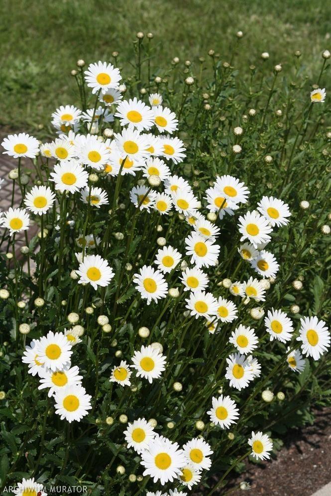 Biale Kwiaty Ogrodowe Naturalna Aranzacja Ogrodu W Bieli Muratordom Pl Plants Garden Plants Aesthetic Iphone Wallpaper